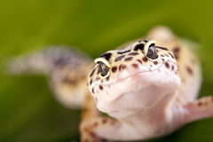 Lézard de Gecko photo stock