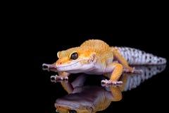 Lézard de Gecko photos stock