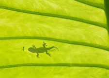 Lézard de Gecko photos libres de droits