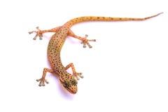 Lézard de gecko d'isolement sur le blanc photo stock