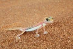 Lézard de gecko de Palmato dans le désert de Namib, Namibie Photographie stock libre de droits