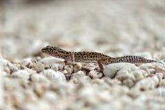 Lézard de gecko sur des roches Image libre de droits