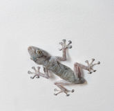 Lézard de gecko sur un plafond photo stock
