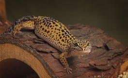 Lézard de léopard de gecko sur un tronc d'arbre Images stock