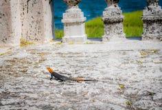 Lézard de Miami la Floride images stock