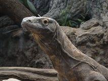 Lézard de moniteur de Komodo Images libres de droits