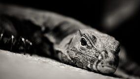 Lézard de moniteur en noir et blanc photo stock