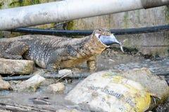 Lézard de moniteur mangeant des poissons Photo libre de droits