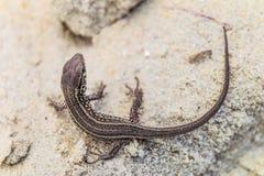 Lézard de sable de Brown sur une terre arénacée dans le sauvage Photo libre de droits