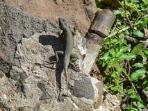 Lézard dedans en parc national d'Iguazu, Argentine Image stock