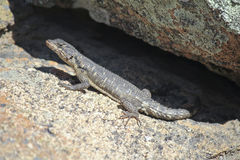 Lézard du sud d'agame de roche, Namibie image libre de droits