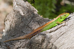 Lézard en nature Images stock