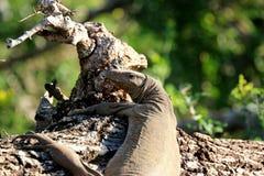 Lézard en parc national de Yala dans Sri Lanka Photographie stock libre de droits