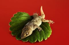 Lézard et feuille de gecko photo libre de droits