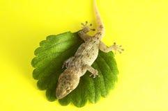Lézard et feuille de gecko photos libres de droits