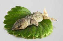 Lézard et feuille de gecko image libre de droits