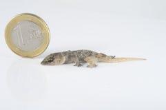 Lézard et pièce de monnaie de gecko images stock