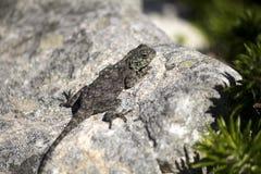 Lézard femelle d'agame de roche (atra d'agame) photo stock
