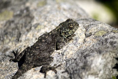 Lézard femelle d'agame de roche (atra d'agame) image libre de droits