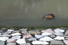 Lézard géant dans l'eau Photo libre de droits