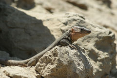 Lézard géant de Canaria de mamie Photos libres de droits