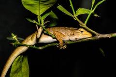 Lézard, iguane, gecko, Skink images stock