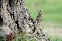 Lézard indo-chinois de forêt au pied d'un arbre Images stock