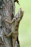 Lézard indo-chinois de forêt dans le camouflage sur un arbre Image libre de droits