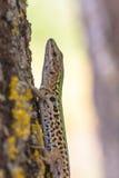 Lézard italien de mur (siculus de Podarci) grimpant à un arbre Photographie stock