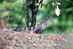 Lézard, lézard de moniteur, dans les jungles tropicales Images stock