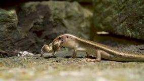 Lézard mangeant la grenouille clips vidéos
