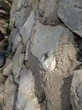 Lézard minuscule sur le mur blanc de roche Photographie stock