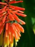 Lézard montant les fleurs rouges Photo libre de droits