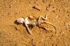Lézard mort sur le fond de sable dans le désert Photo stock
