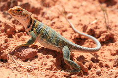 lézard oriental colleté Images stock