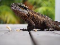 Lézard ou dragon sur la voie avec la nourriture photo libre de droits