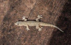 Lézard ; Photo de figure d'un lézard/de frenatus de Hemidactylus photo stock