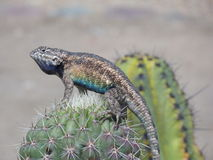 Lézard placé sur le cactus (fin) Photo stock