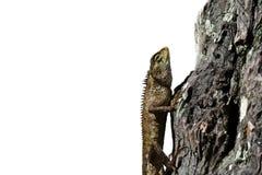 Lézard rampant sur le bois avec le fond blanc Photo libre de droits