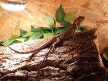 Reptiles. Lézard reptiles iguanidé terrarium bois Royalty Free Stock Images