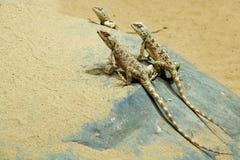 Lézard sauvage sur le sable Photo libre de droits