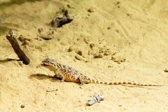 Lézard sauvage sur le sable Images libres de droits