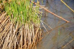 Lézard se reposant entre l'herbe s'élevant sur un monticule de marais Photos stock