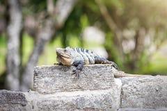 Lézard se reposant sur des ruines maya près de Tulum, Mexique images stock