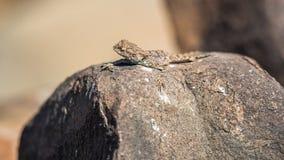 Lézard se trouvant sur une roche au soleil Images stock