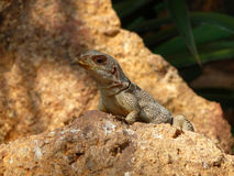 Lézard sur la pierre Photo stock