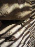 Lézard sur la roche avec l'ombre rayée Photo stock