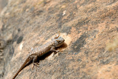 Lézard sur la roche de rouge de l'Utah Image stock