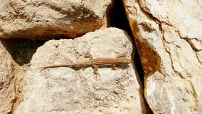 Lézard sur la vue de plan rapproché de rochers photo libre de droits