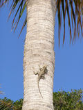 Lézard sur le palmier Photos libres de droits